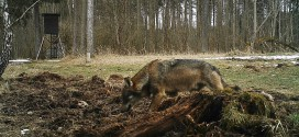 Wolf im Landkreis Starnberg
