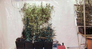 Marihuana Plantage im Bauernhof