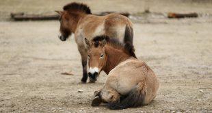 Przewalski Pferd aus dem Tierpark Hellabrunn wird Landschaftspfleger in Augsburg Copyright Foto Ellinor