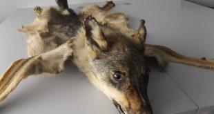 Präparierter Wolf von Zoll am Flughafen München beschlagnahmt Quelle Foto: Zoll