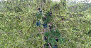 Cannabis Plantage in Baumwipfeln Haunstettner Wald Augsburg